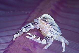 photo sous l'eau crabe