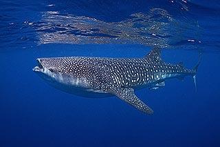 photo sous l'eau requin baleine