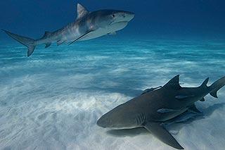 photo sous l'eau requin
