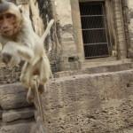 voyage thailande - singe dangereux